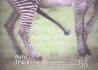Really wild zebras have nice sex in forest
